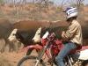 cattle-work-012