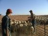 lamb-marking-011