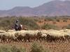 sheep-011