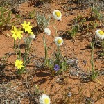 Sandhill wildflowers