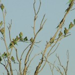 Wild budgerigars